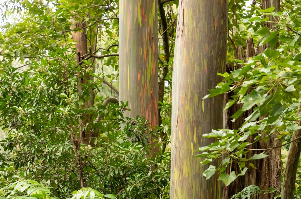 Rainbow Eucalyptus Trees EX Road to Hana Maui