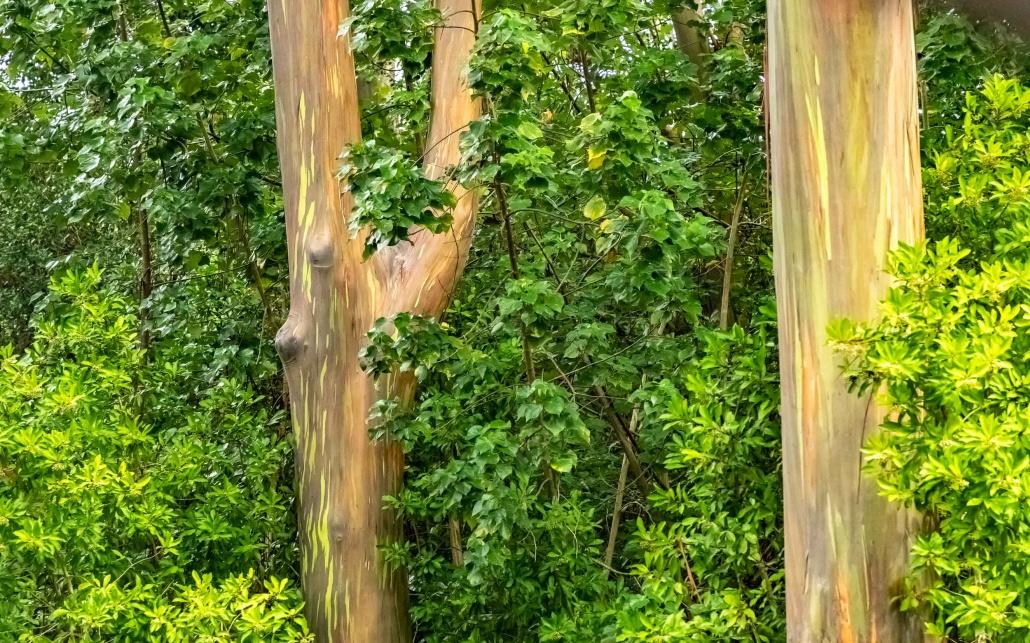 Rainbow Eucalyptus Trees Road to Hana Maui
