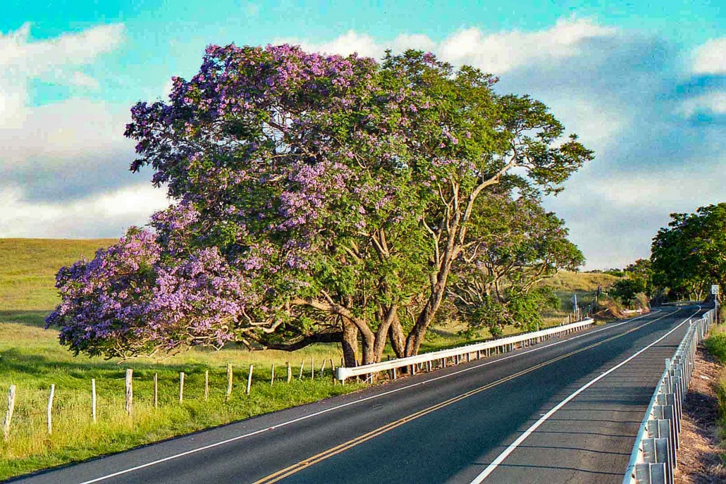 Purple Jacaranda trees in upper Kula