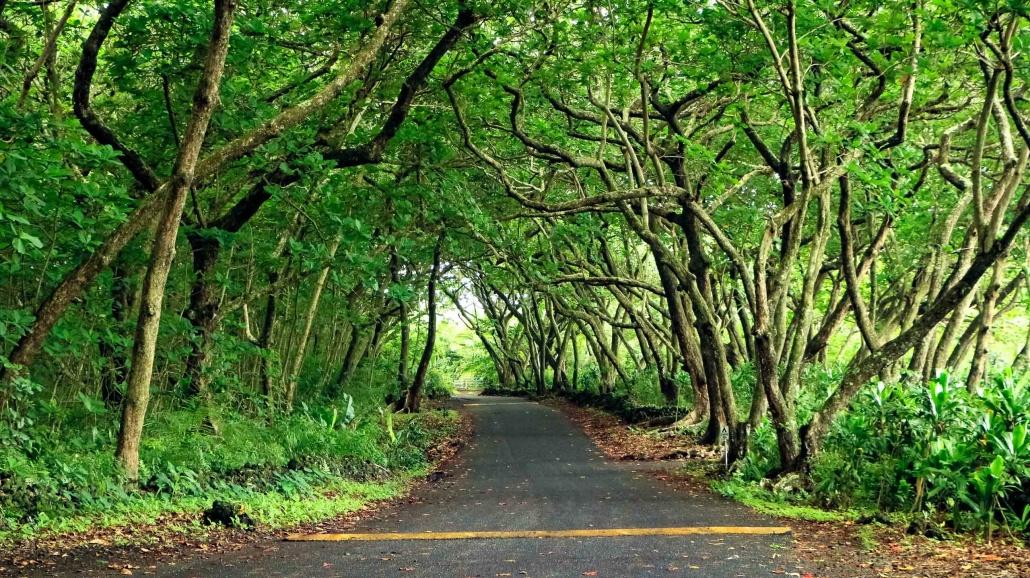the dense rainforest of Hana swallows a road
